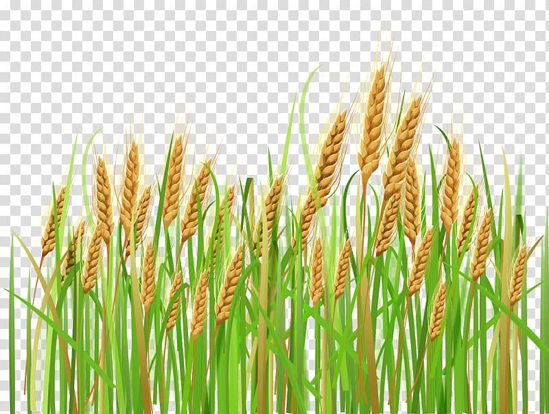 Cereal ear barley ears. Wheat clipart green