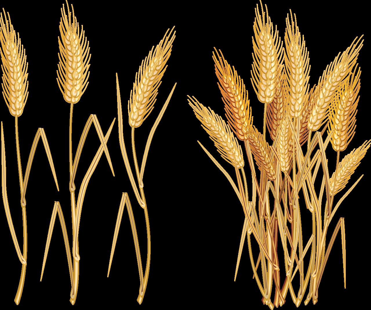 Wheat clipart barley. D ff e png