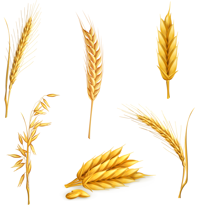 Wheat clipart food grain. Ear cereal clip art