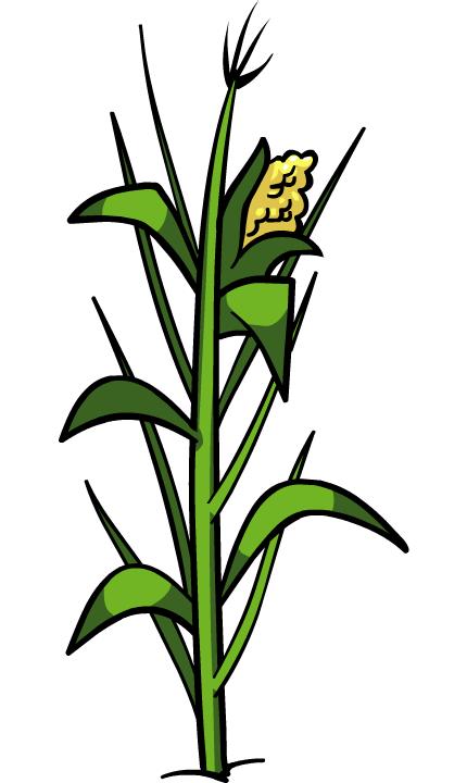Jowar plant png transparent. Crops clipart corn crop