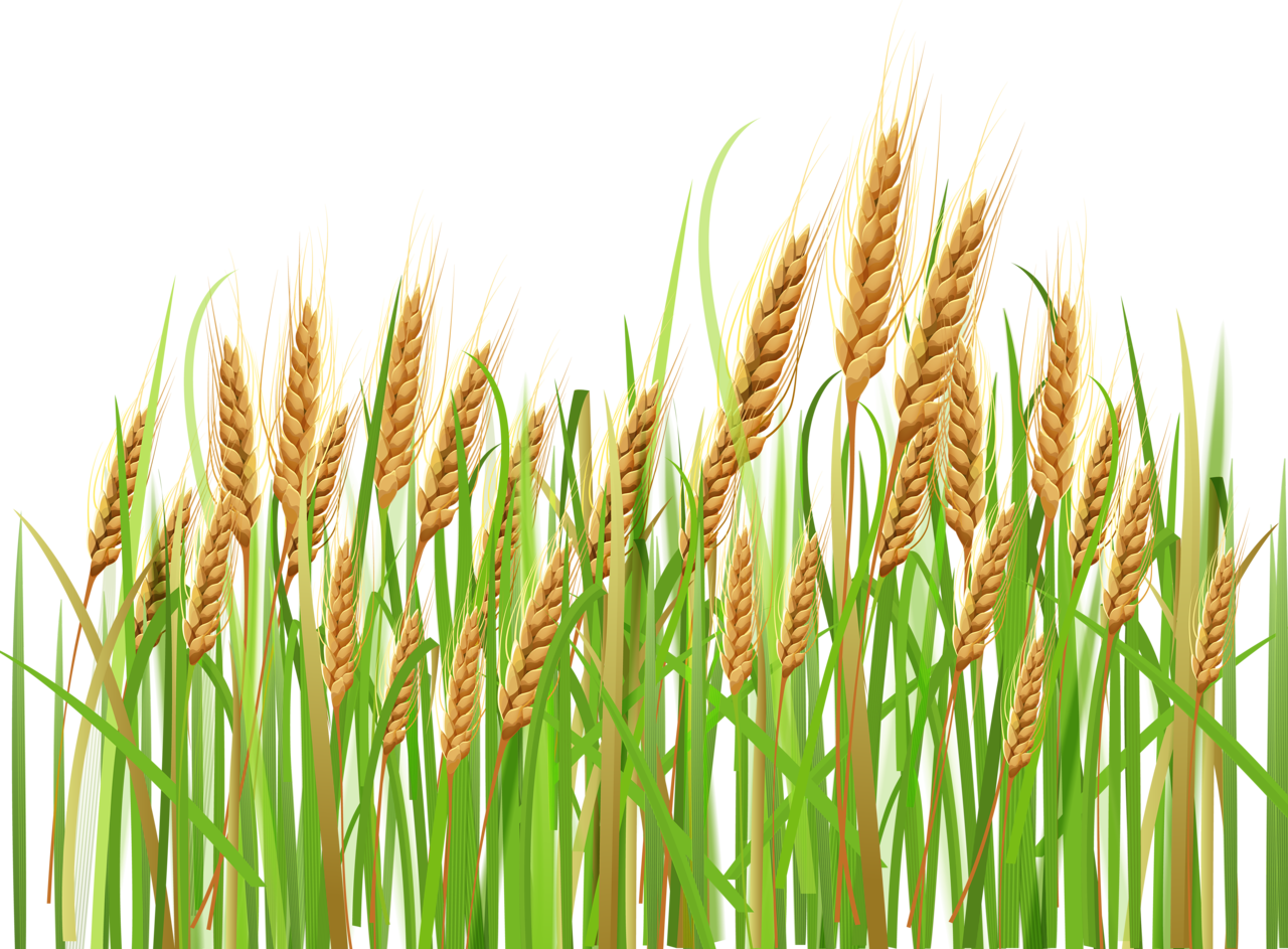 Wheat clipart wheat leaf.  png pinterest album