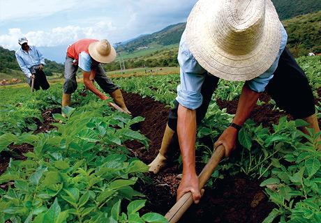 Crops clipart farmer chinese. The potato a versatile