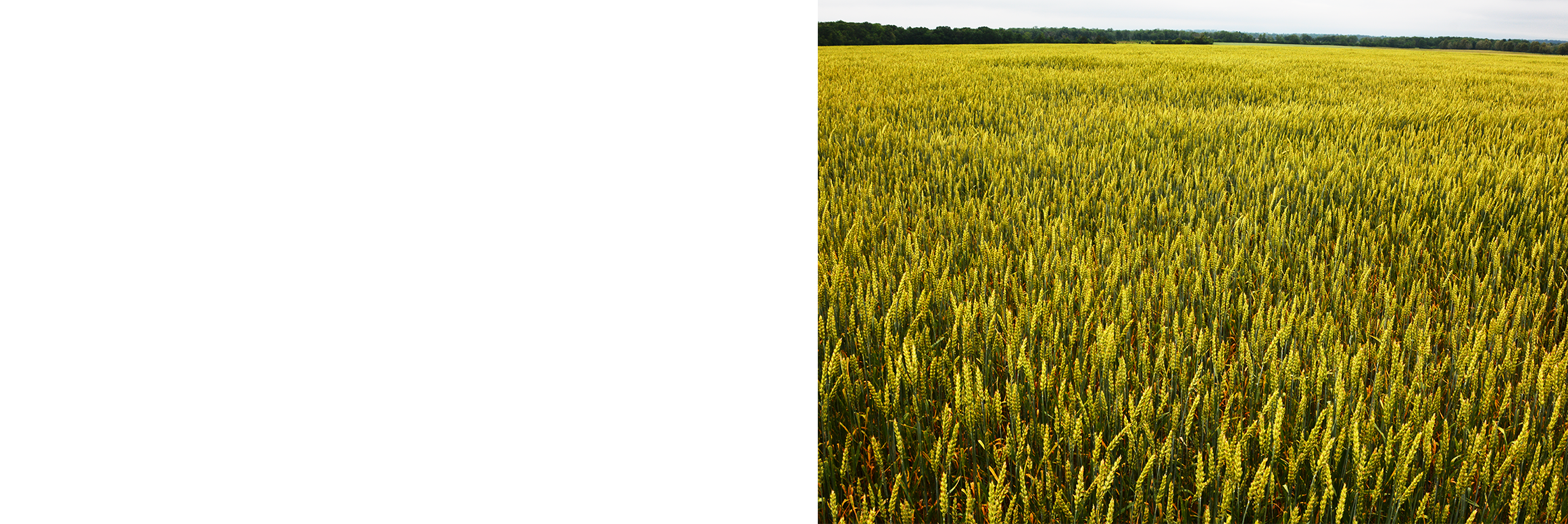 Land clipart wheat field. Grain png crc stone
