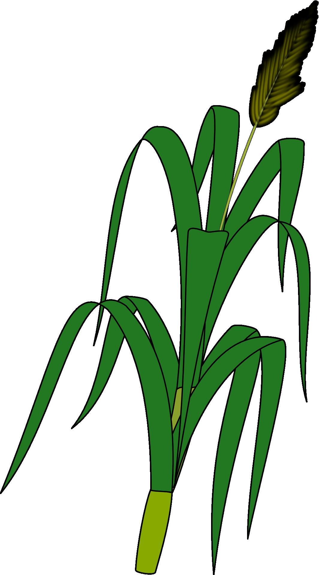 Plant ear clip art. Grain clipart piece wheat