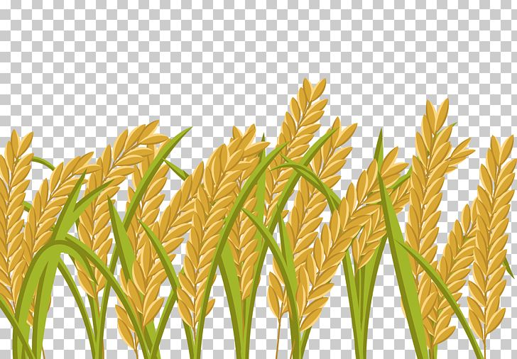Rice crop field png. Wheat clipart paddy