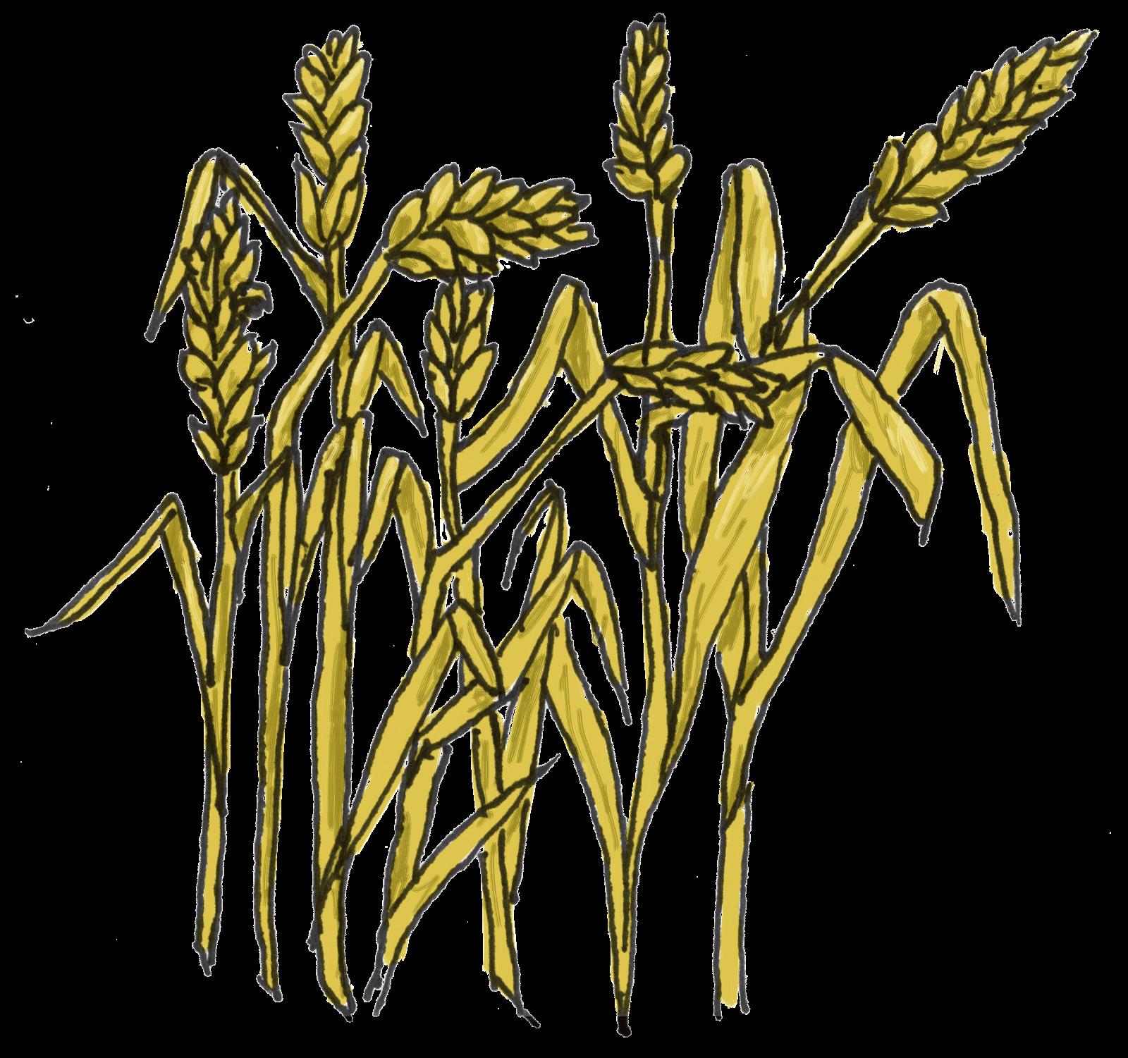 Wheat clipart wheat bunch.  grains huge freebie