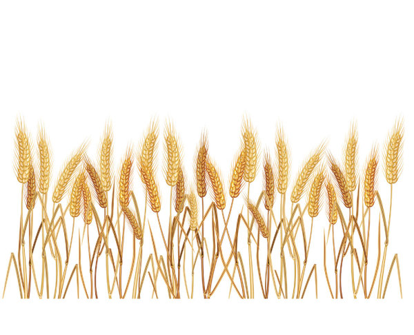 Wheat crop field basking. Crops clipart spring