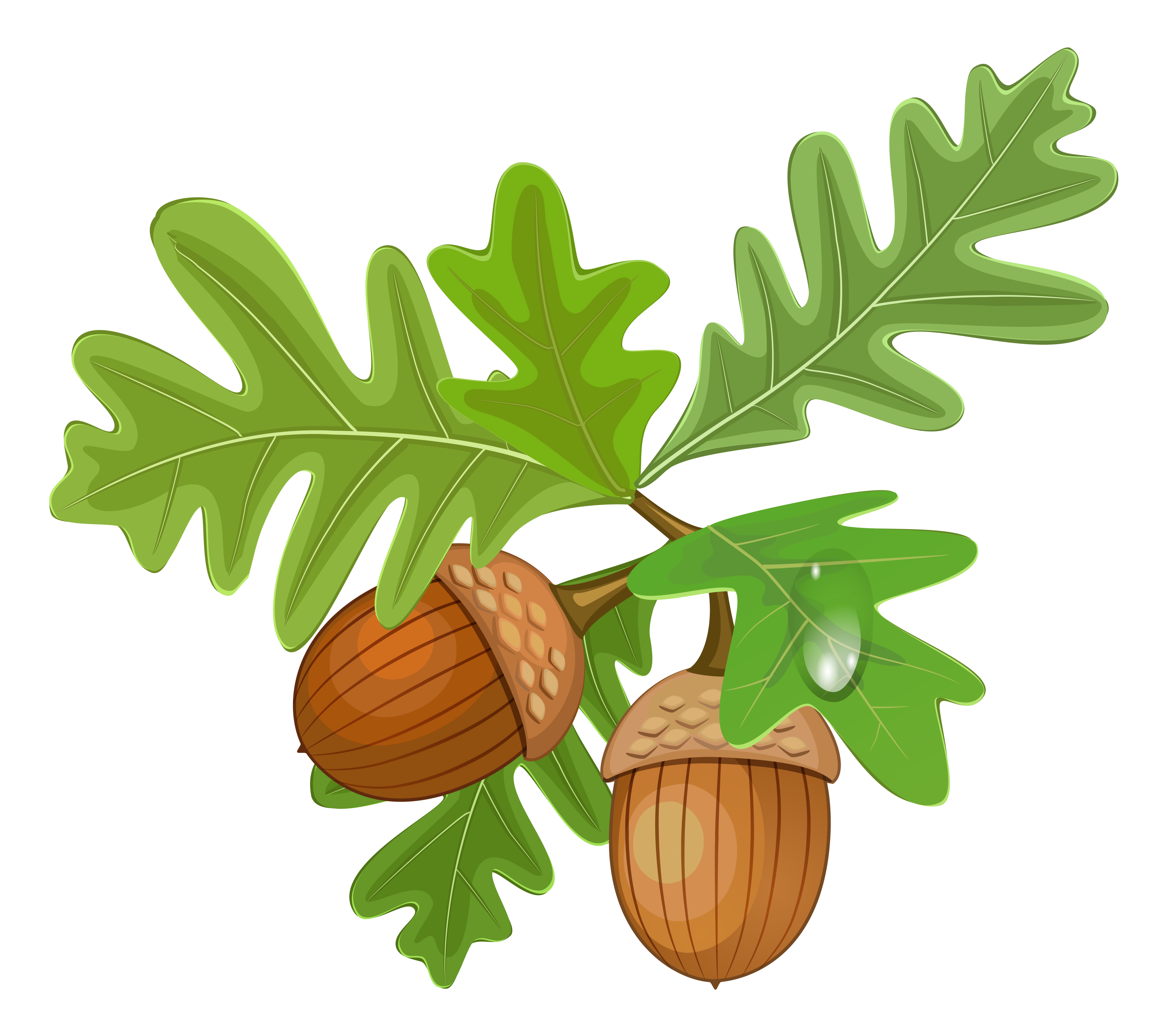 Nut clipart acron. Acorn png image purepng