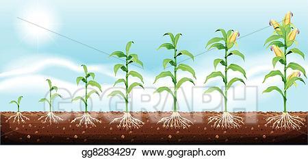 Crops clipart underground. Vector illustration corn growing