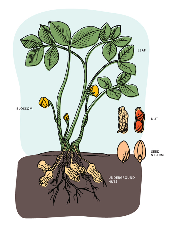 Planting clipart water plant. How peanuts grow florida