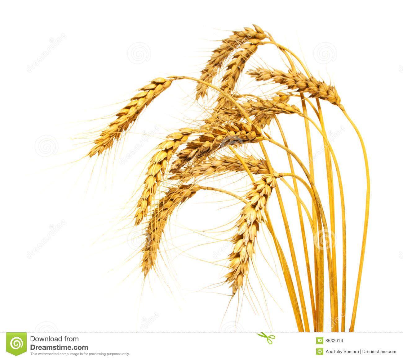 Crops clipart wheat barley. Stalk slp in