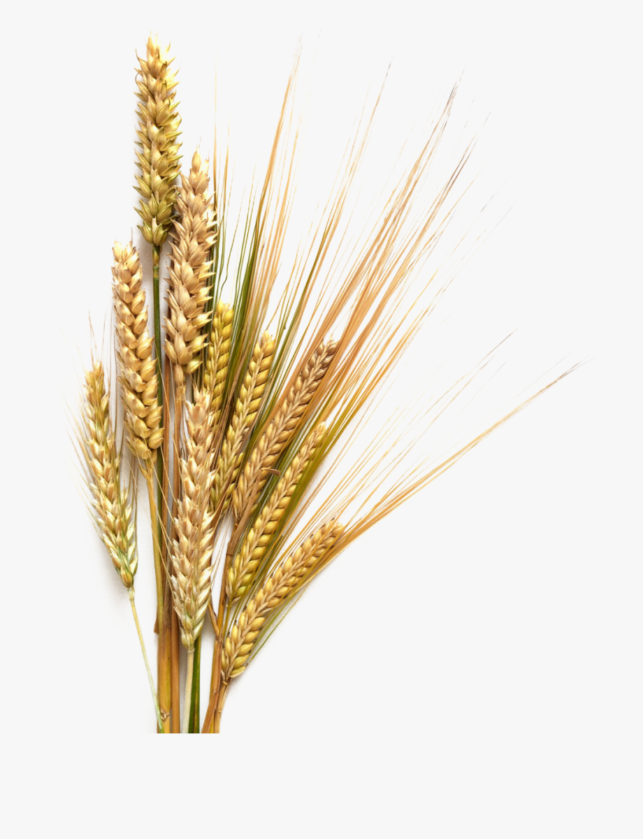 Crops clipart wheat barley. Grains germ png cliparts