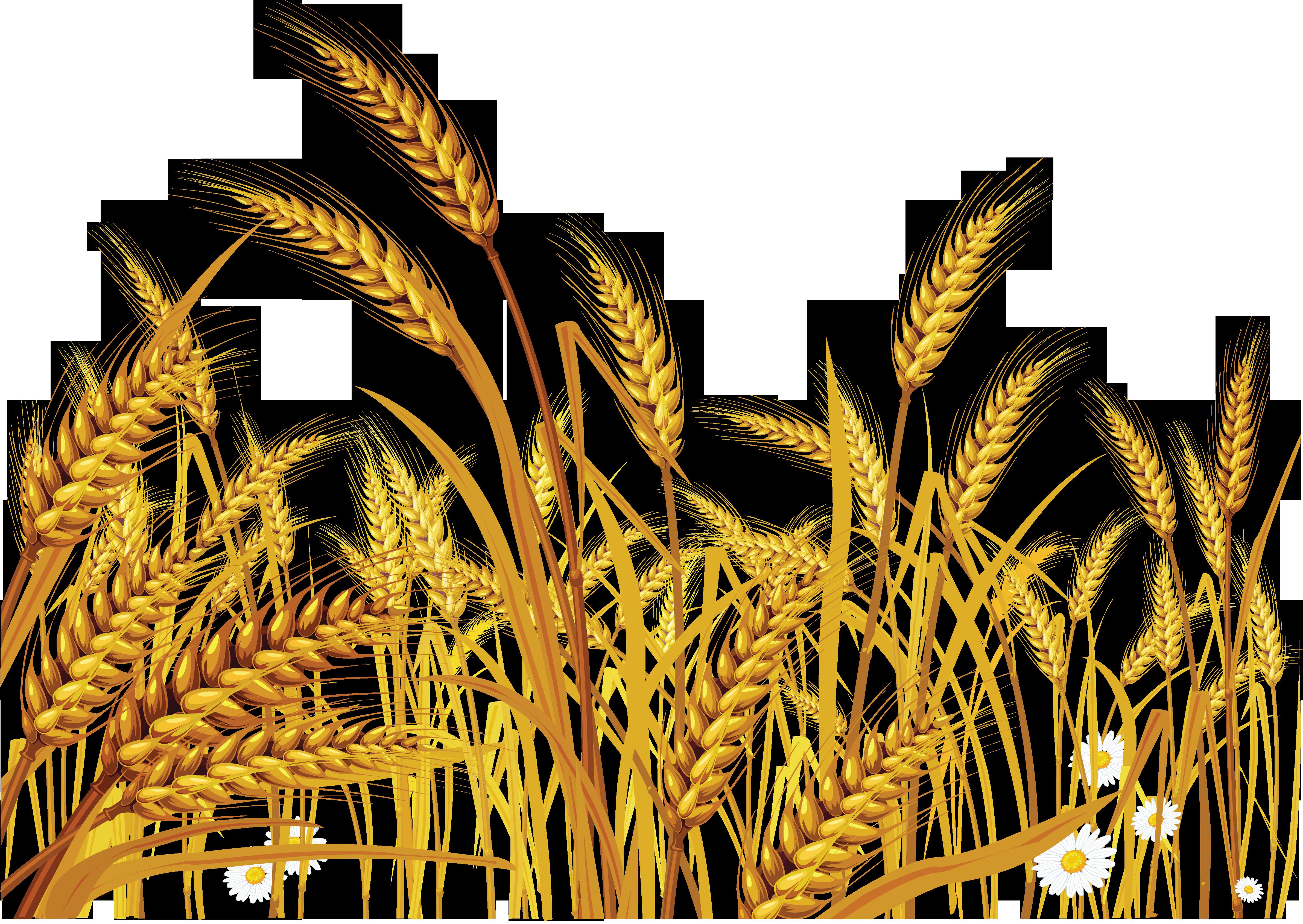 Grain clipart piece wheat. Png