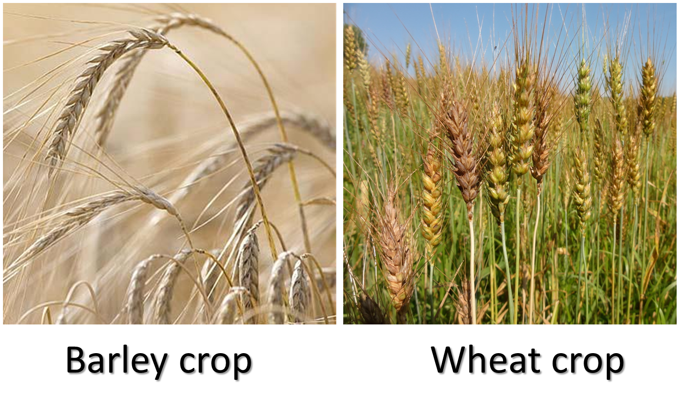 August principles for life. Wheat clipart deuteronomy