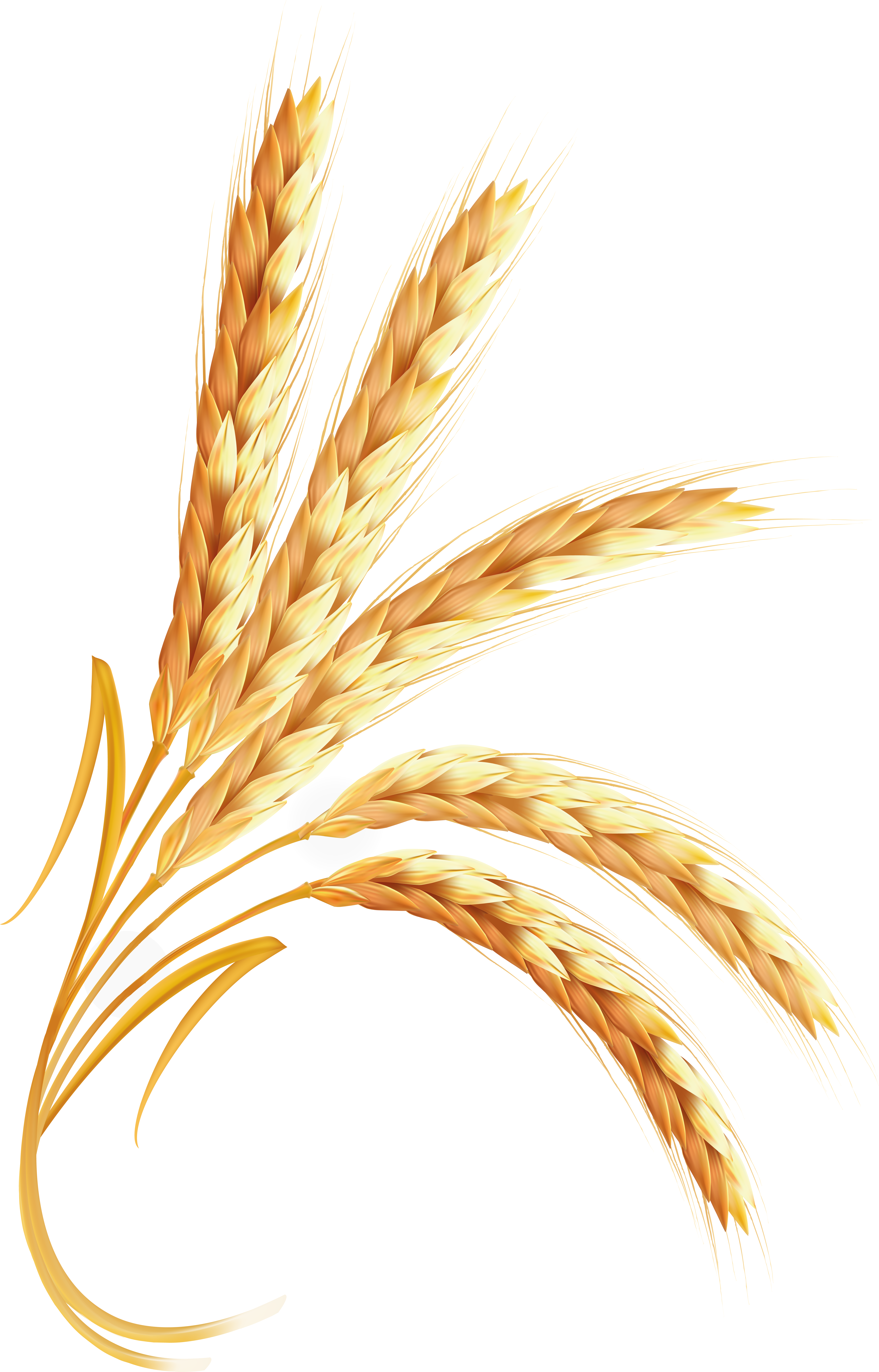 Wheat png images free. Grain clipart wheet