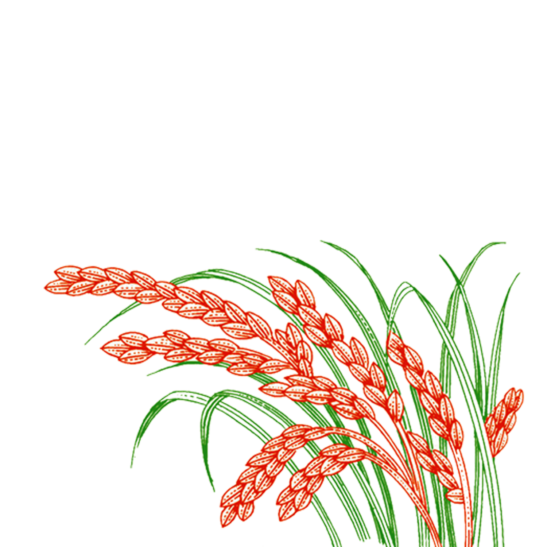 Rice clipart rice harvest. Paddy field oryza sativa