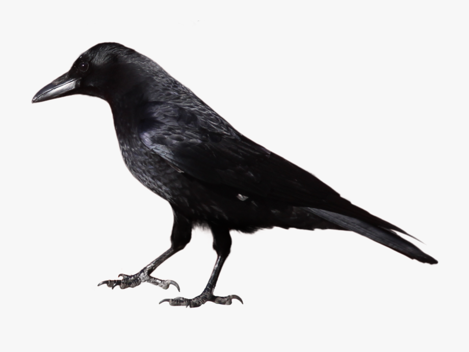 Black and white free. Crow clipart