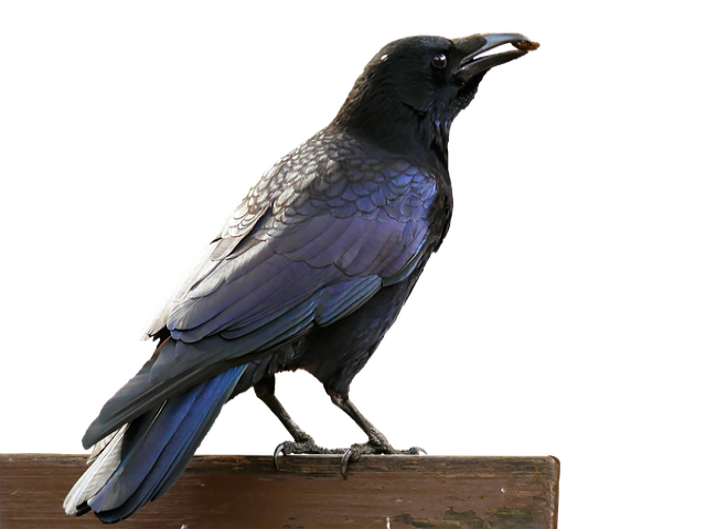 Crow clipart crow story, Crow crow story Transparent FREE for