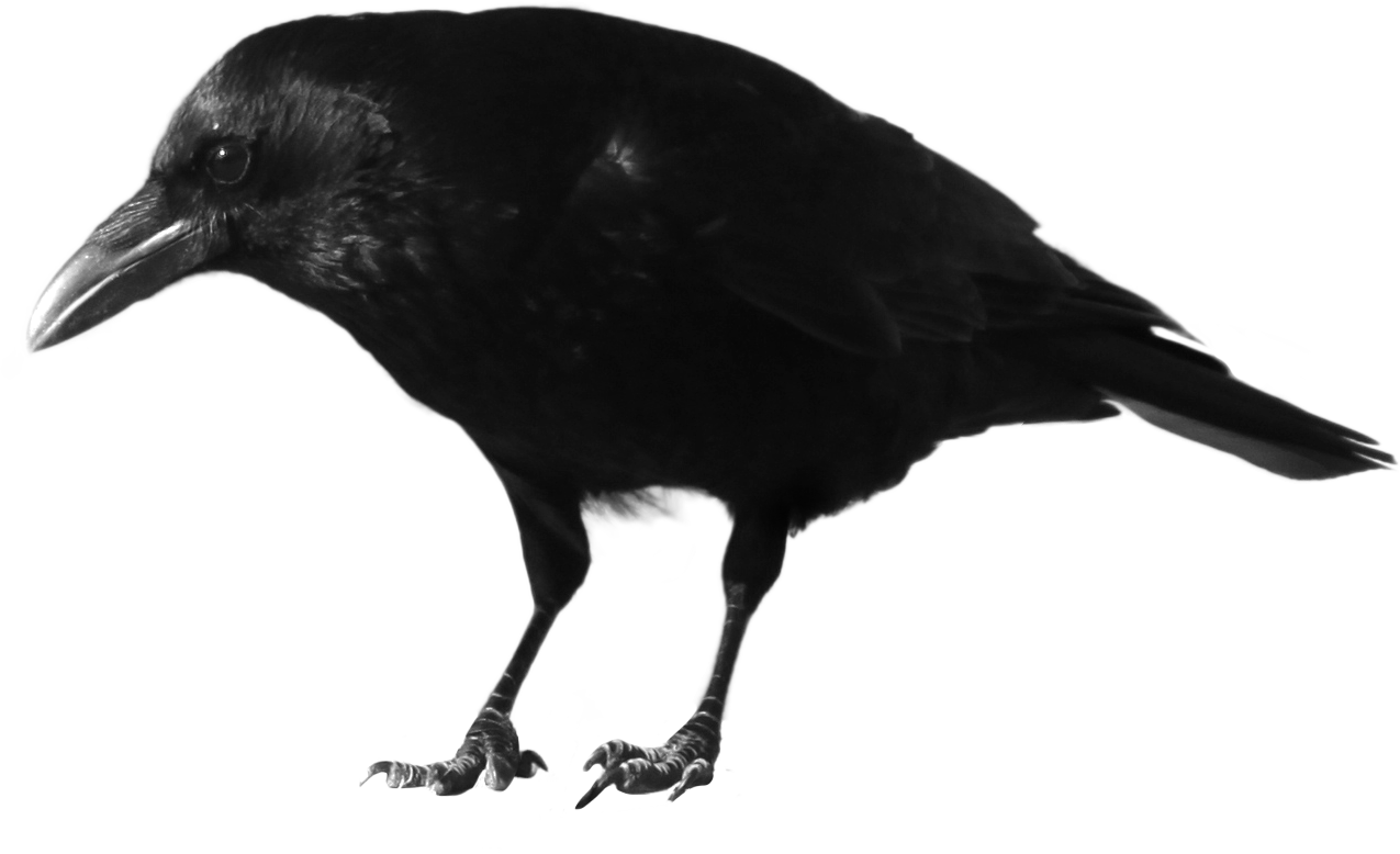 Skeleton clipart crow. Black png image the