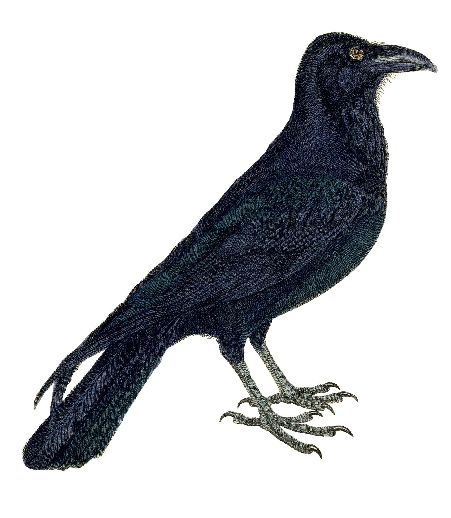 Crow clipart victorian.  images vintage pictures