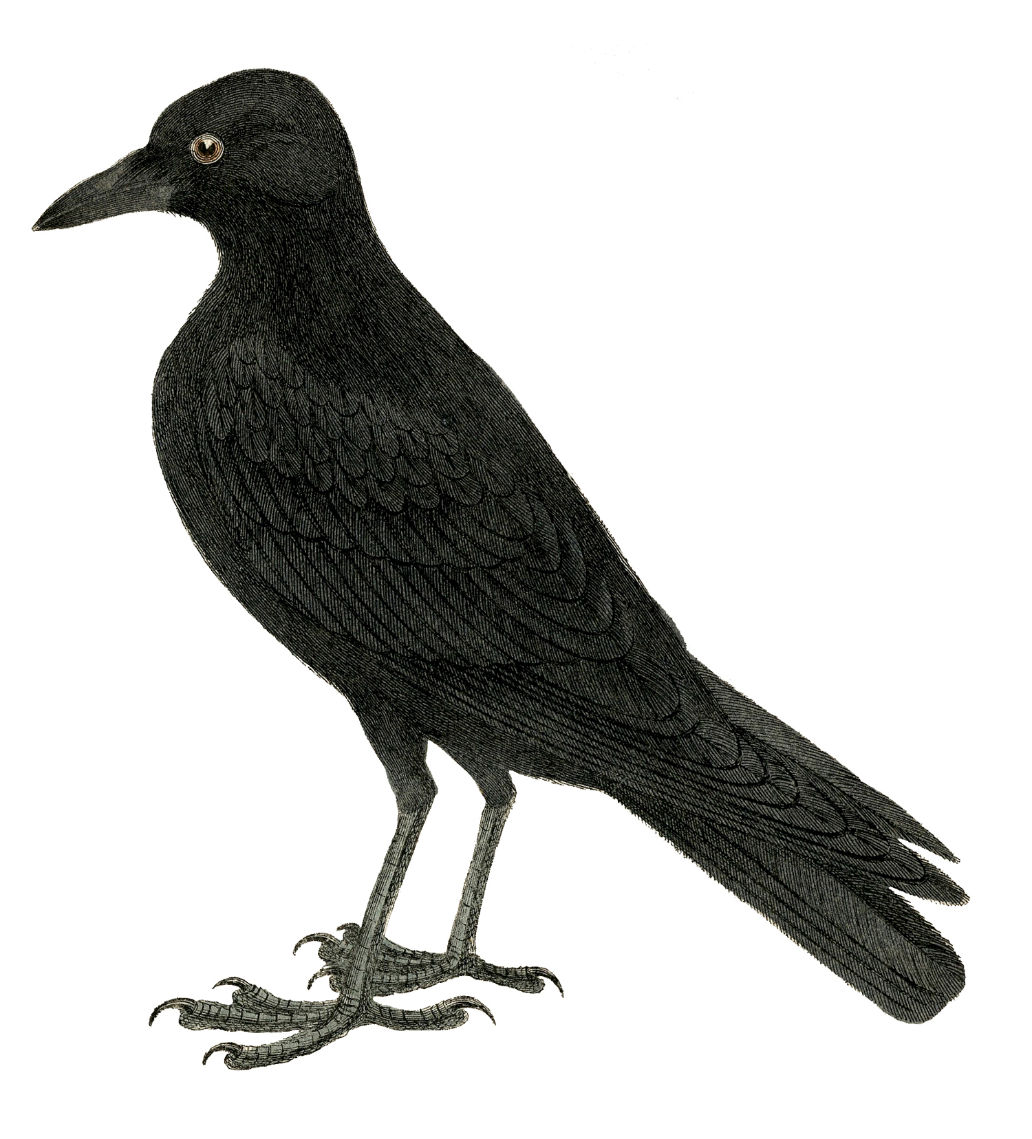 images vintage pictures. Crow clipart victorian