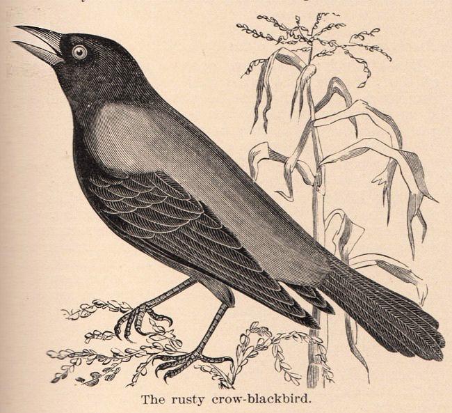 Free vintage clip art. Crow clipart victorian