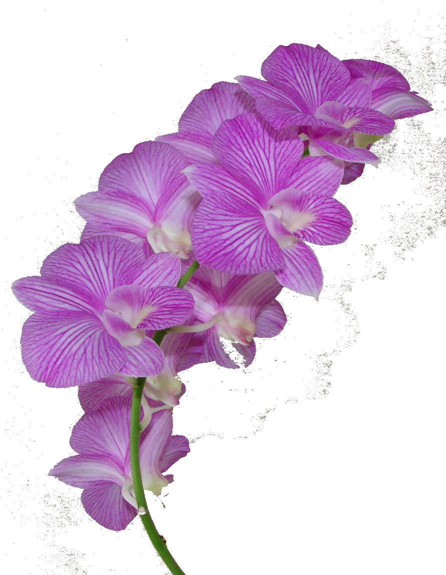 Rose tumblr cartoon free. Crown clipart purple