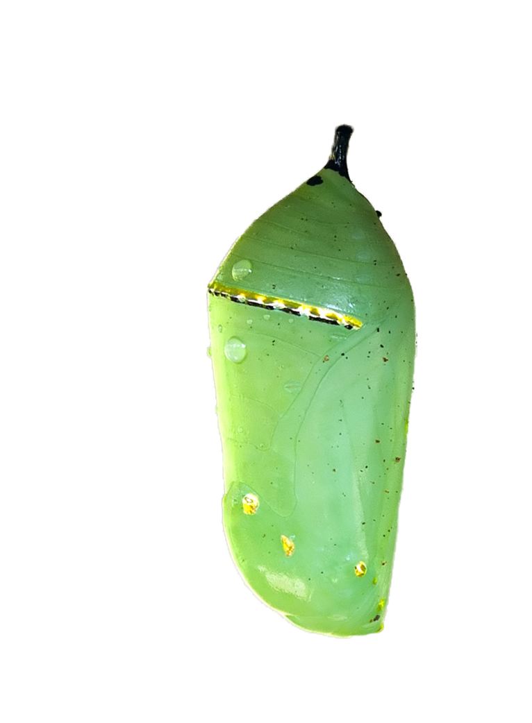 Ladybugs clipart pupa. Monarch butterfly cocoon png