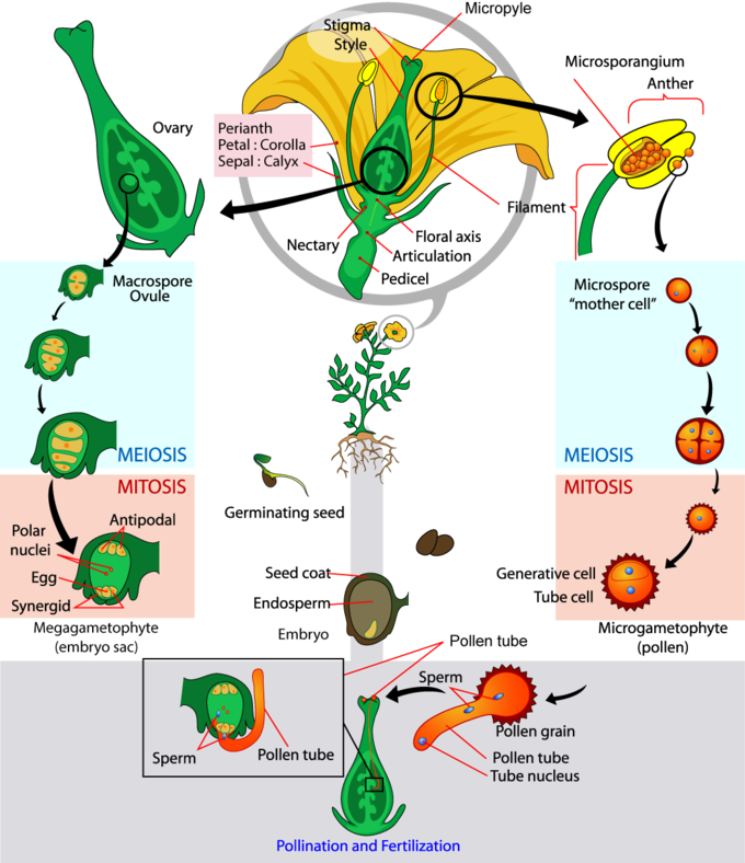 Cycle clipart plant. Angiosperms boundless biology the