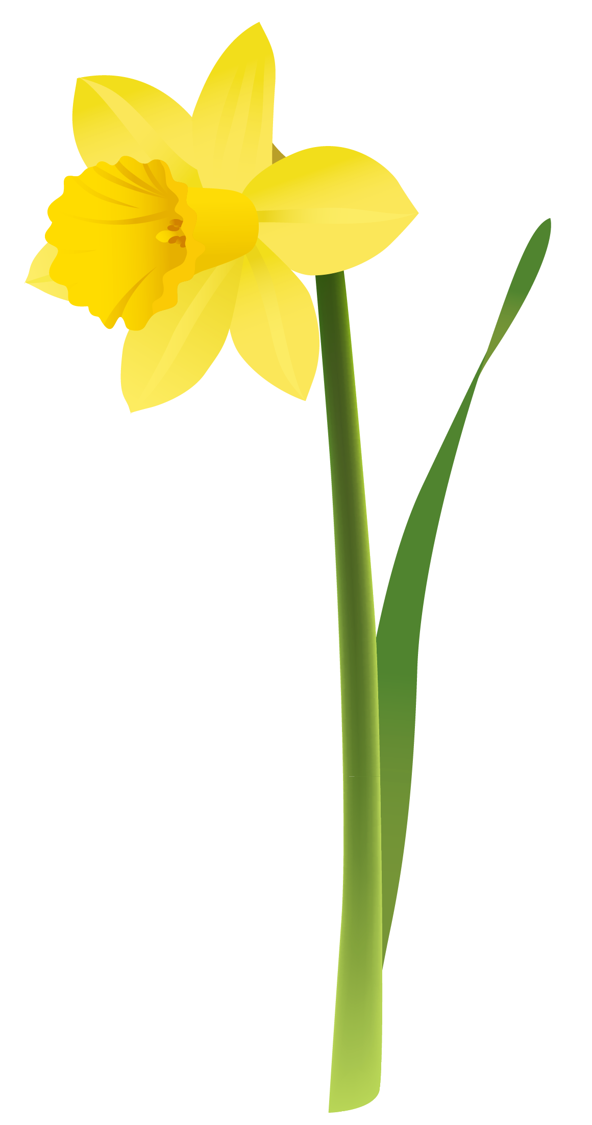 Spring yellow png gallery. Daffodil clipart