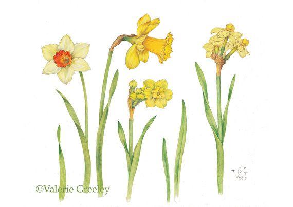 Daffodil clipart botanical illustration. Print plant