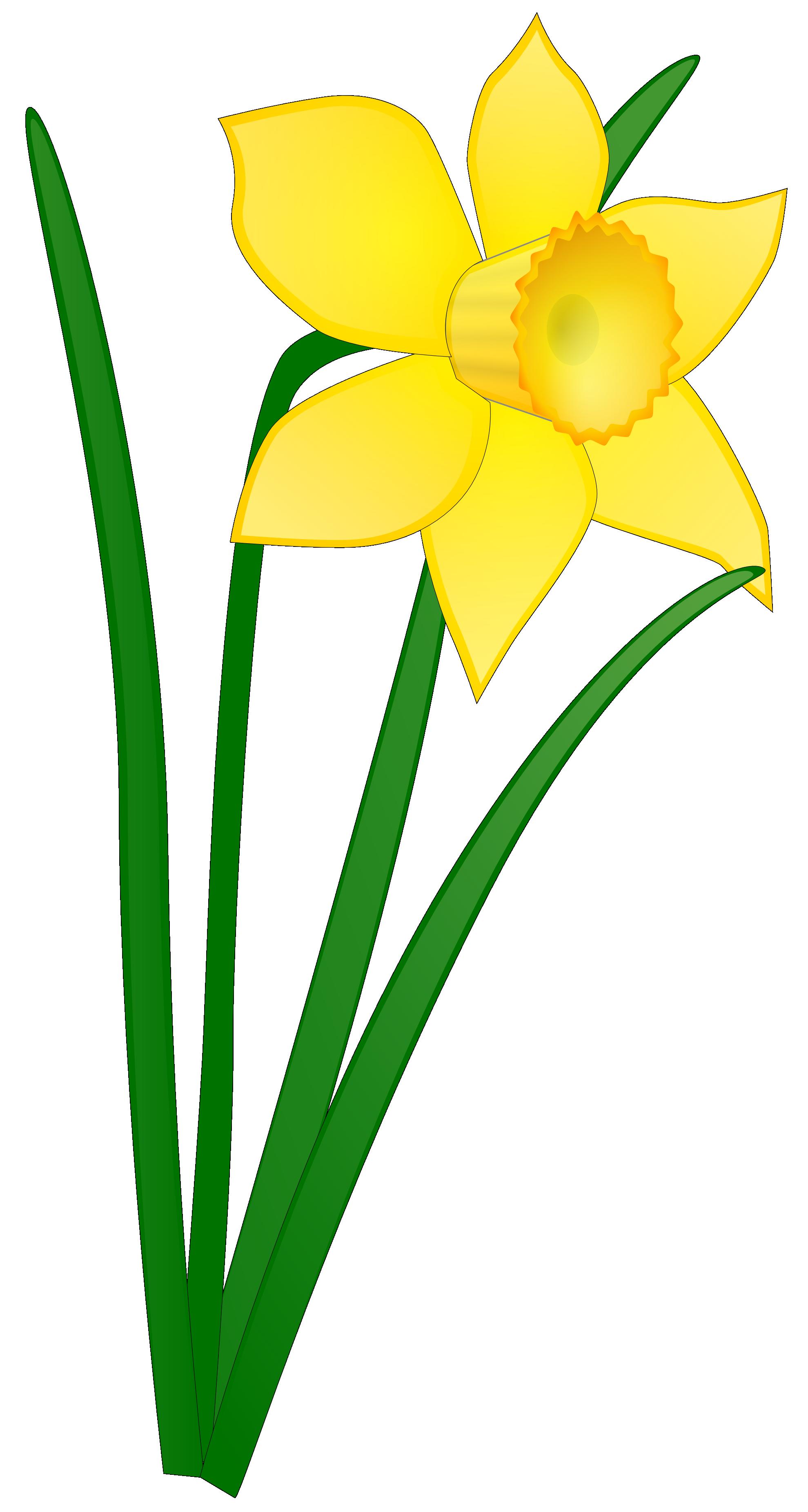 Flower clip art panda. Daffodil clipart botanical illustration