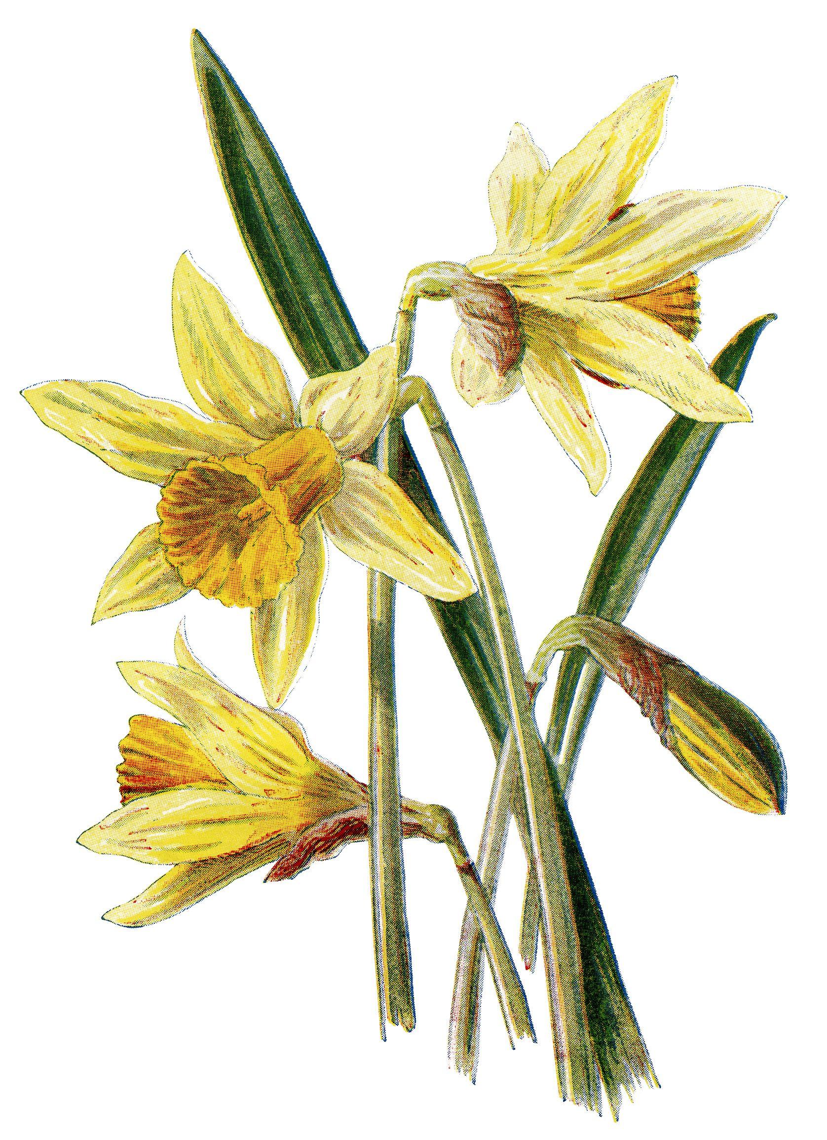 Daffodil clipart botanical illustration. Clip art vintage flower