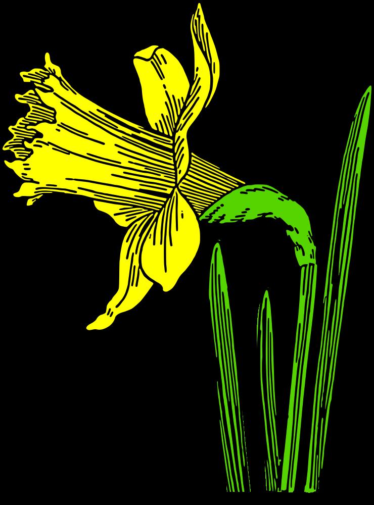 Daffodil color