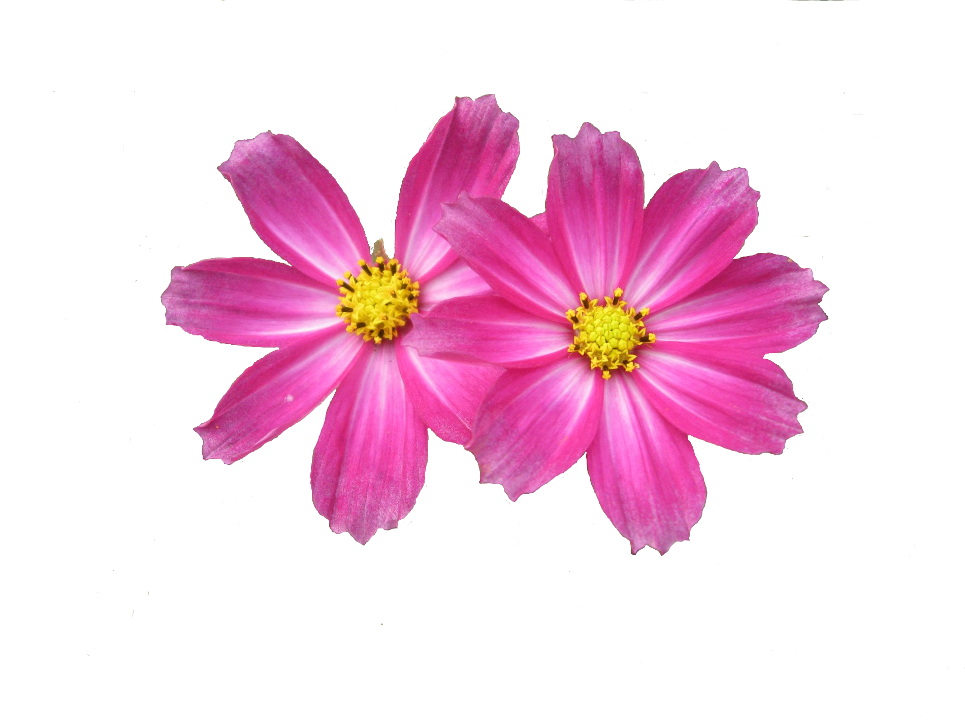 Daisies clipart five flower. Flowers png all about
