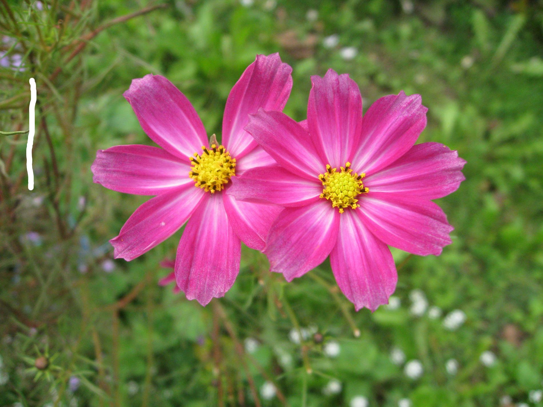 daisy clipart long stem flower