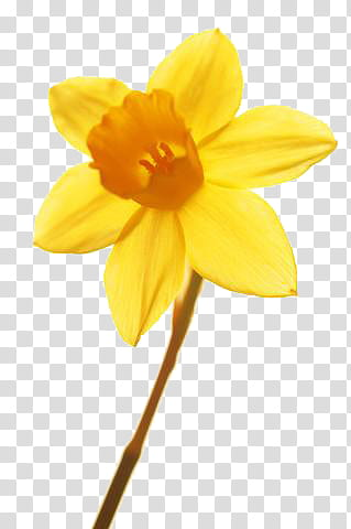 Flower yellow transparent background. Daffodil clipart daisy plant