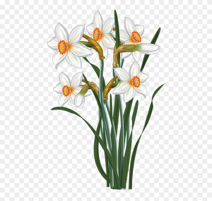 Daffodil clipart daisy plant. Flower transparent clip art