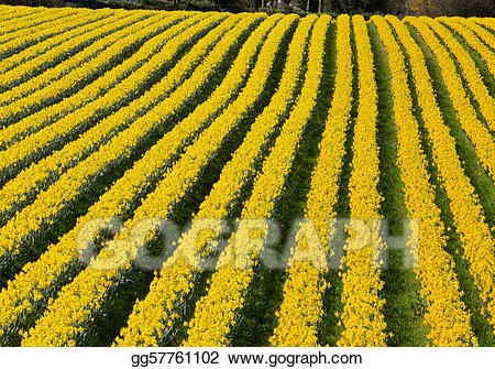 Download for free png. Daffodil clipart field daffodil