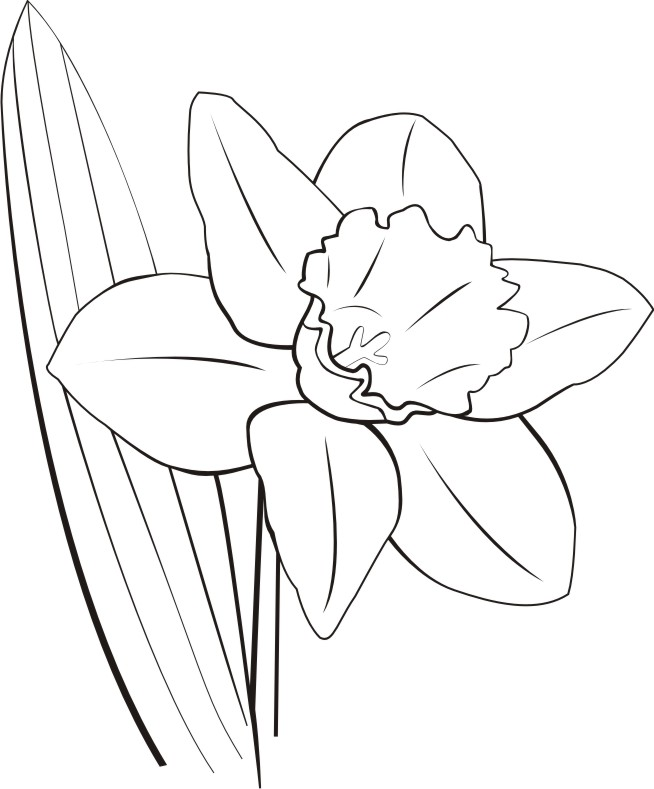 Daffodil clipart field daffodil. Drawing outline at paintingvalley