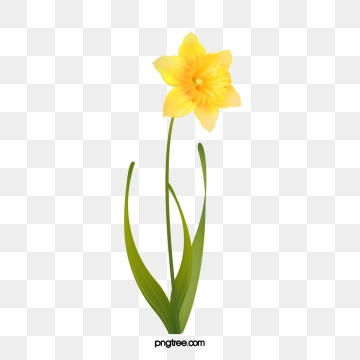 Daffodil clipart field daffodil. Png vector psd and