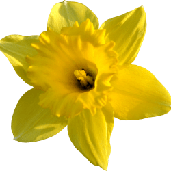 Daffodil clipart head. Narcissus in black and