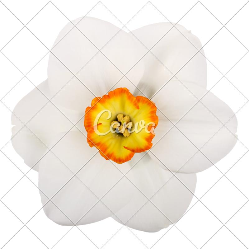 Single flower of a. Daffodil clipart petal