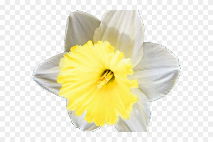 Daffodil clipart petal. Narcissus hd png download