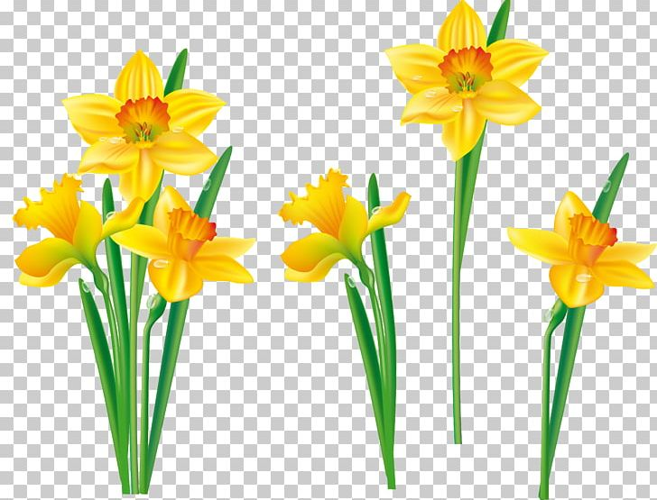 Daffodil clipart tulip. Flower png amaryllis family