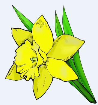 Daffodil clipart tulip. Spring flower singles by