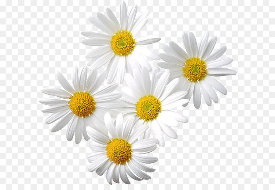 Skeleton flower light petal. Daisies clipart