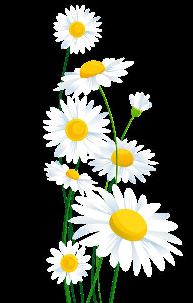 Daisies clipart. Transparent white png margar