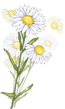Free romashka daisy flower. Daisies clipart