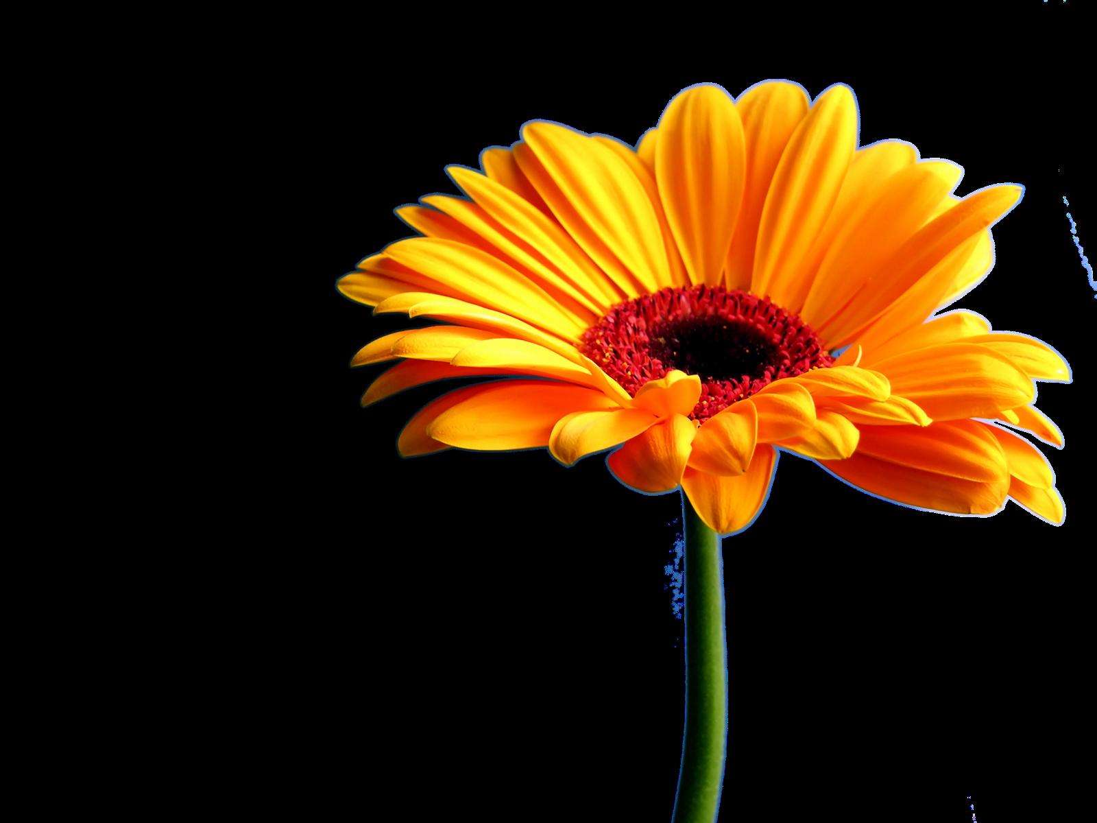 Orange daisy no white. Mayflower clipart gerbera flower